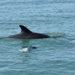 Peale's dolphins with Commerson's dolphins