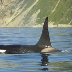 Male orca swimming off Kamchatka
